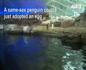 A pair of male royal penguins have adopted an egg at the Berlin Zoo after failed attempts to hatch a stone. Aged 10 years old, Skipper and Ping had shown a desire to have an egg in the past and are an \